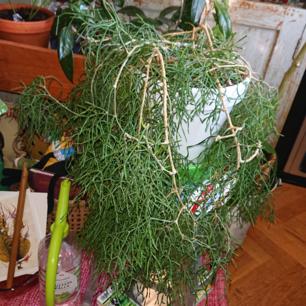 Glasörtskaktus skott  29ink frakten  Hel all annorlunda kaktus